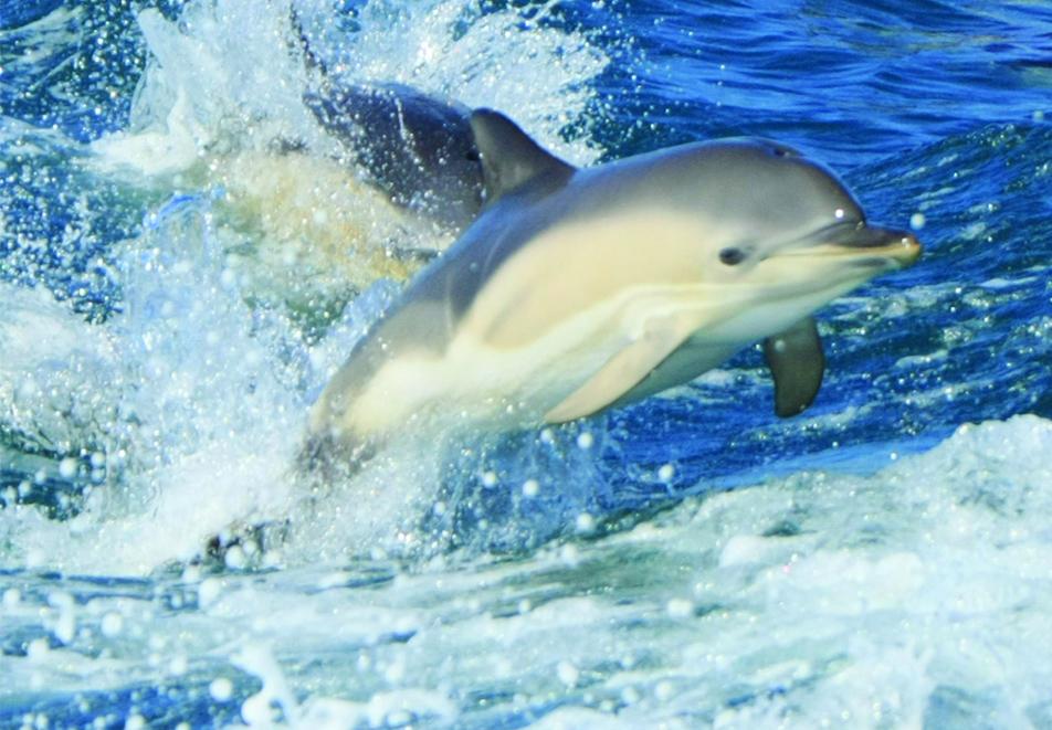 common dolphins calf pembrokeshire boat trip