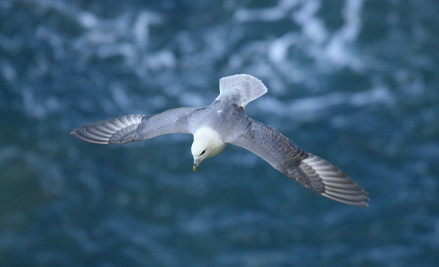 Fulmar around Ramsey Island RSPB nature reserve