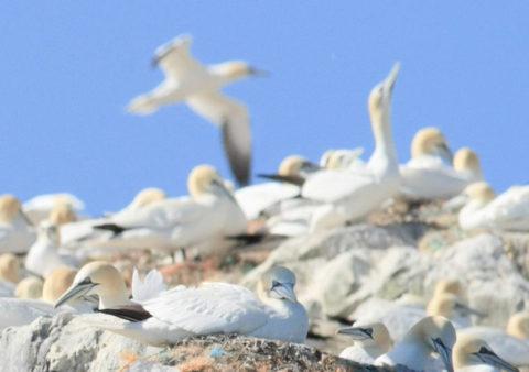 Gannet colony on Grassholm Island RSPB Nature Reserve
