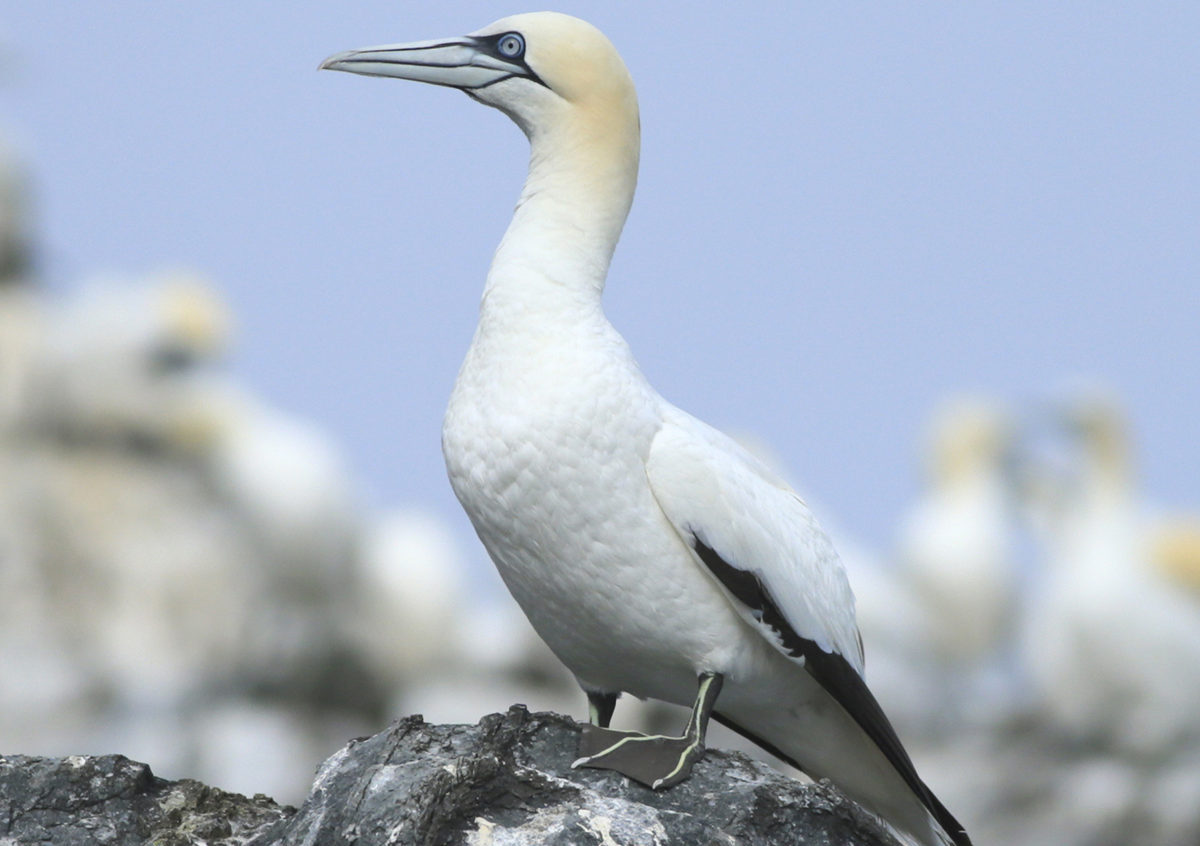 Grassholm Island gannet colony Pembrokeshire
