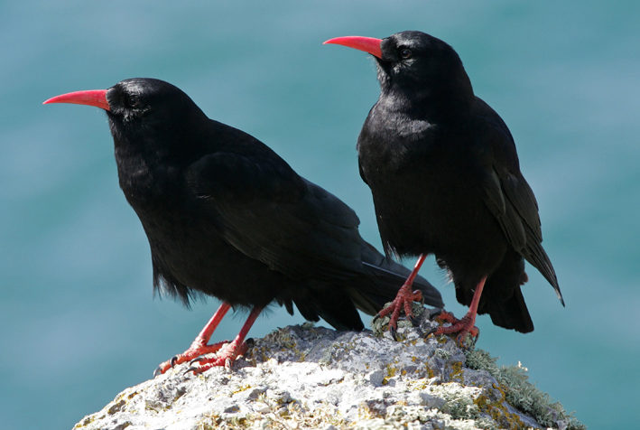 Chough on Ramsey Island St Davids Pembrokeshire Wales UK