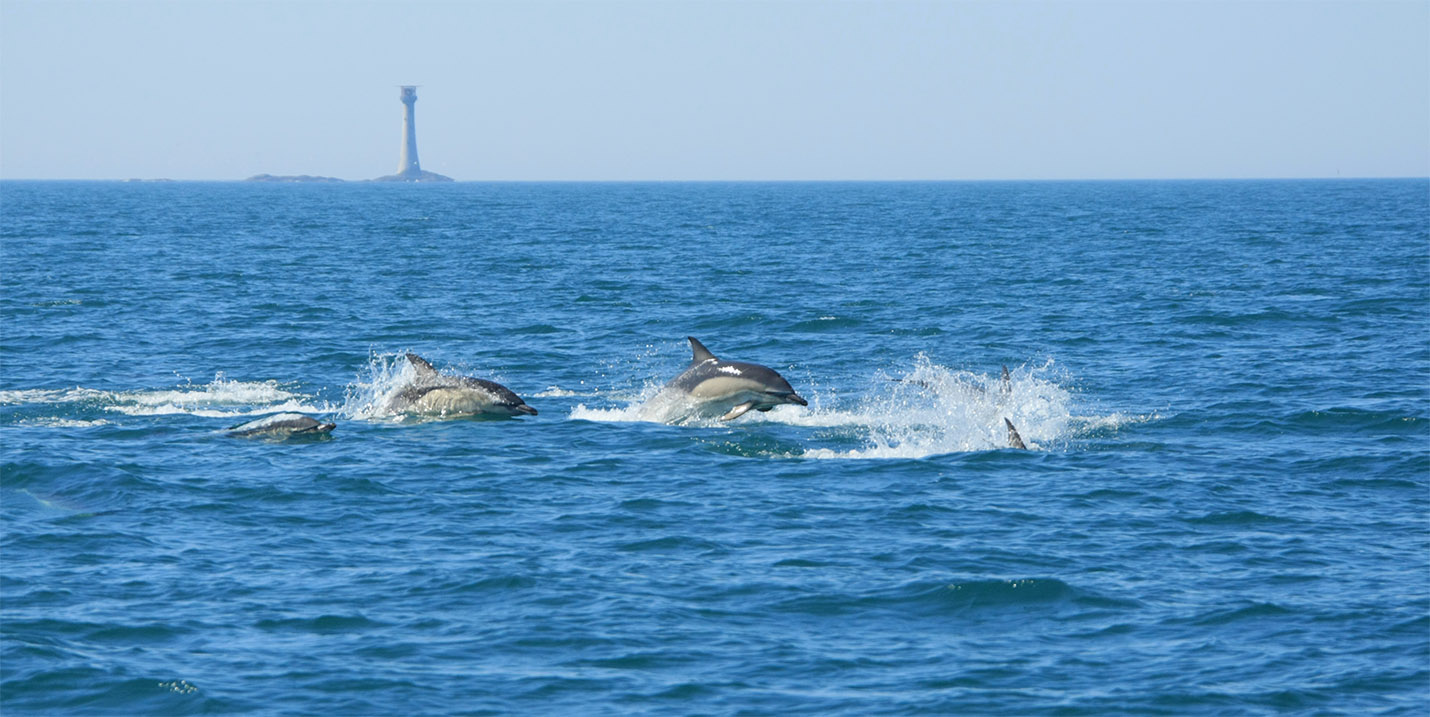 Common dolphins Smalls lighthouse wales