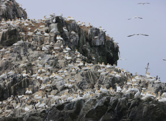 Gannet colony on Grassholm Island RSPB nature reserve