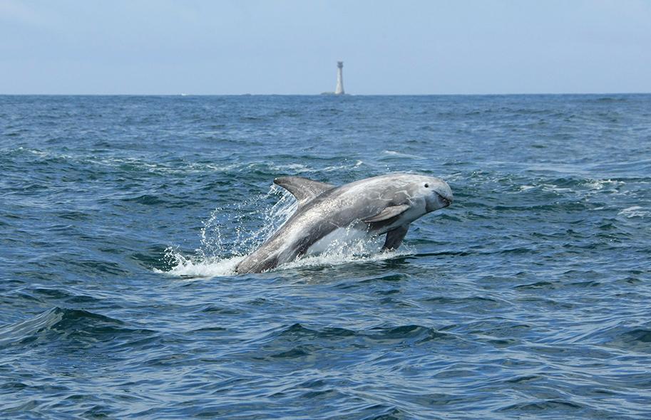 rissos dolphins off the pembrokeshire coast