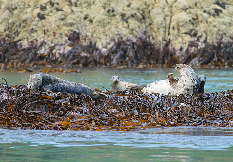 Atlantic Grey Seal colony Ramsey Island St Davids