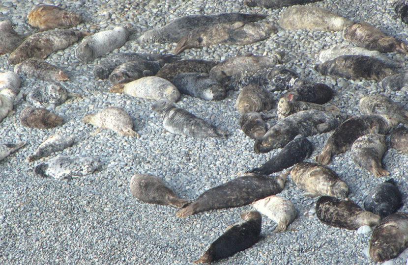 Atlantic Grey Seals Ramsey Island RSPB Nature Reserve