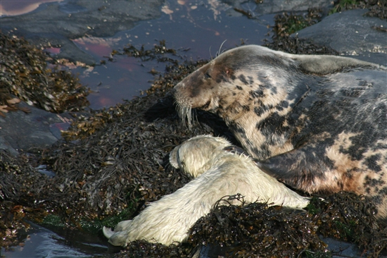 Atlantic Grey Seals on Ramsey Island