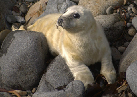 Atlantic grey Seal pup on Ramsey Island