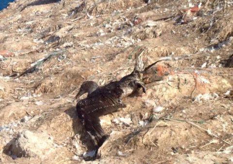 Gannet tangled on Grassholm Island