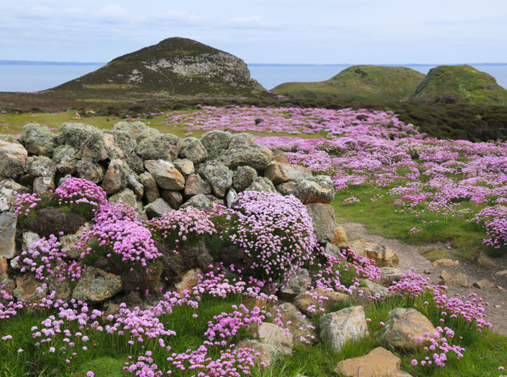 Pink Thrift on Ramsey Island RSPB guided walk