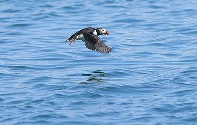 Puffins Skomer Island Wildlife Trust