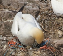 Gannet correctly incubating her egg