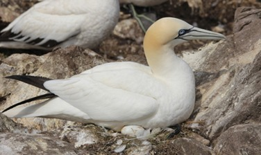 inexperienced gannet incubating her egg
