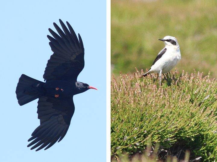 Chough and Wheatears on Ramsey Island