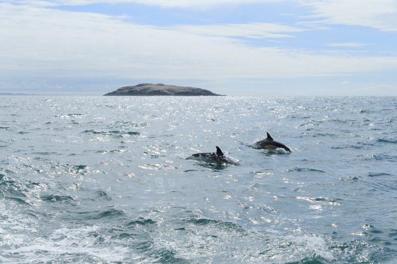 Common Dolphins near Grassholm Island