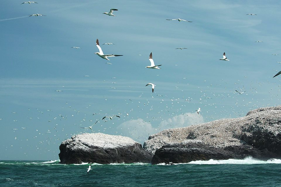 Grassholm Island gannet colony