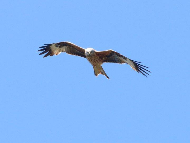 Red Kites around Ramsey Island