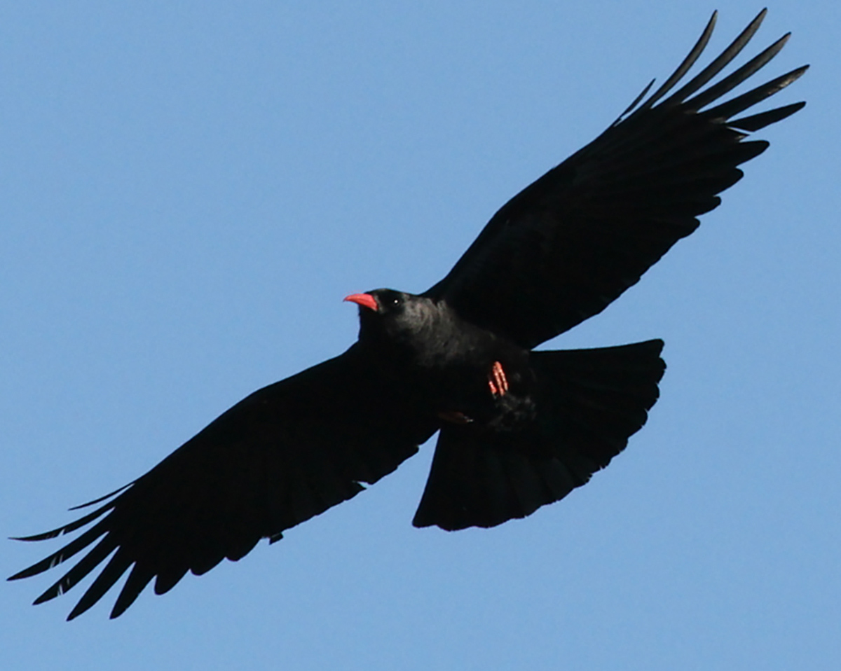 Chough, Ravens and Blackbirds on Ramsey Island by RSPB wardens Greg and Lisa