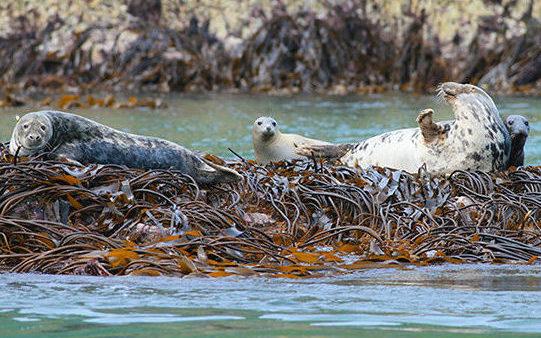Atlantic Grey Seals Ramsey Island St Davids