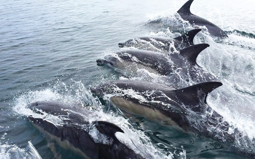 common dolphins whale and dolphins boat trips