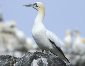 gannet grassholm island rspb nature reserve